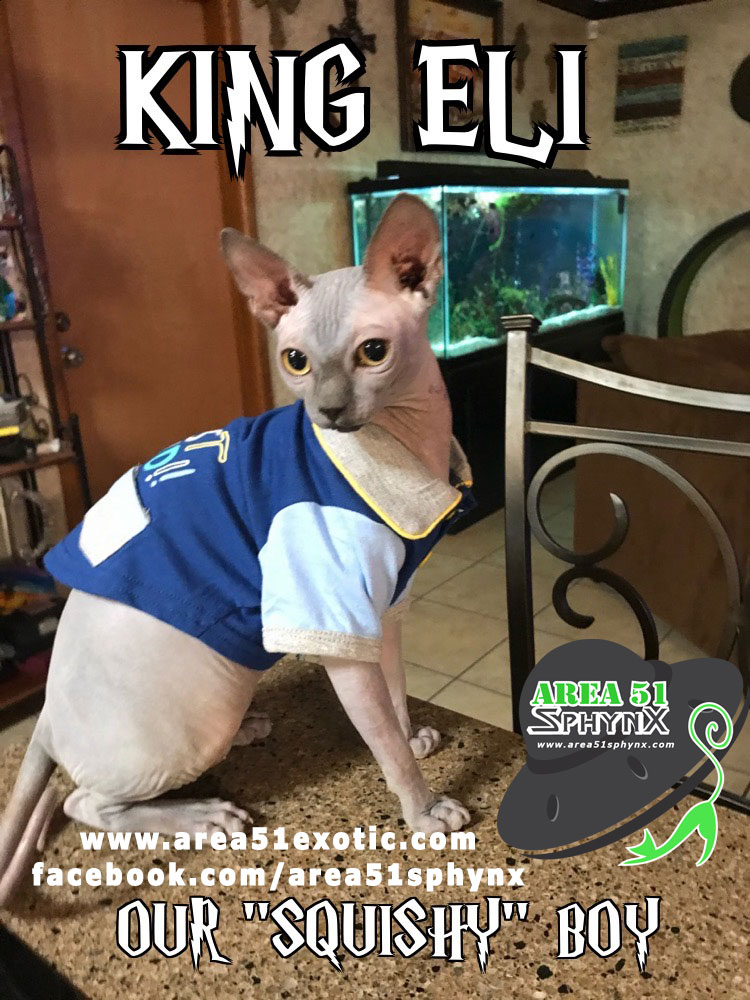 """Our amazing solid blue Sphynx """"King Eli"""" has amazing """"Smooth"""" skin and together with our Queens, he contributes to an amazing skin coat as well as a sweet disposition.  His first litter with Khaleesi gave us black and blue females."""